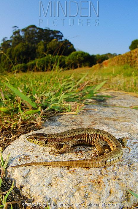 Bocage's wall lizard (Podarcis bocagei) basking on rock, Portugal