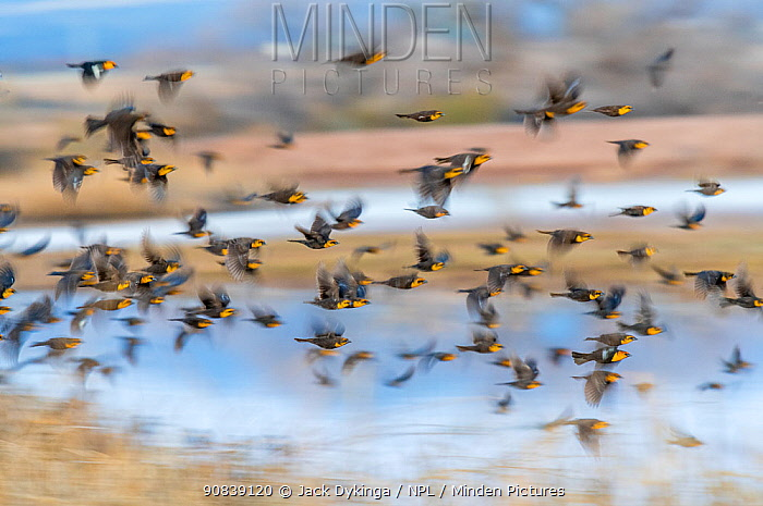 Yellow-headed blackbirds (Xanthocephalus xanthocephalus) flock in flight, Whitewater Draw, Arizona State Game and Fish Reserve, USA. January.