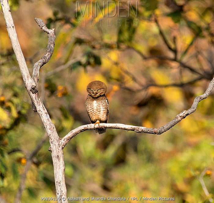 Jungle owlet (Glaucidium radiatum) perched in a tree, Tadoba National Park and Tiger Reserve, Maharashtra, India. March.