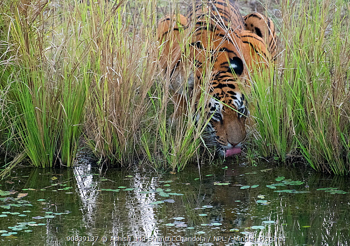 Tigress drinking water (Panthera tigris tigris) hidden in long grass, Tadoba National Park and Tiger Reserve, Maharashtra, India. March.