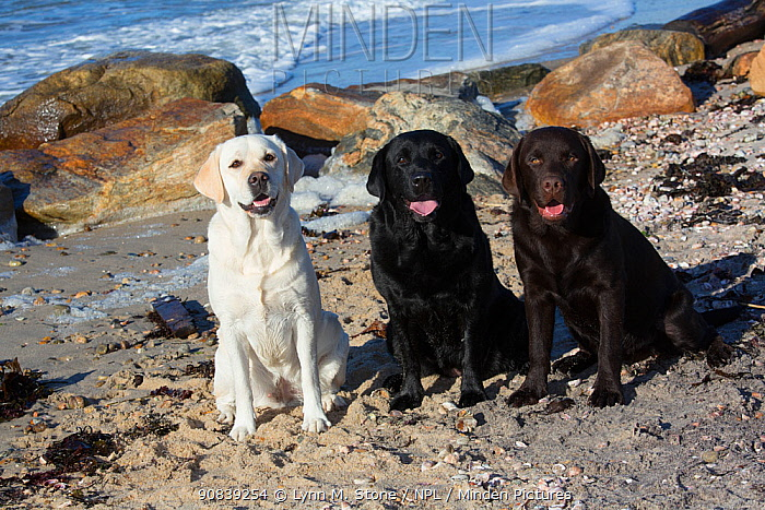 Three breed colours of Labrador retriever at the seaside, sitting on beach, Long Island Sound, Connecticut, USA. November.