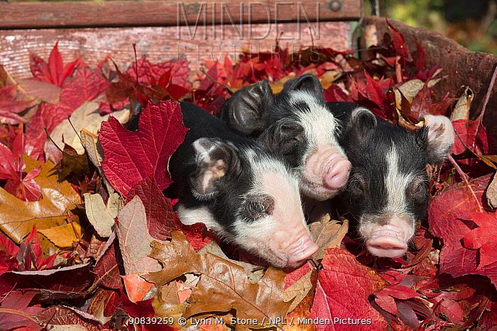 Piglets lying in autumn leaves, Rhode Island, USA. November.