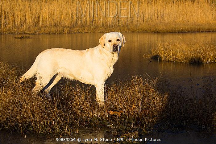 Yellow Labrador retriever female standing in salt marsh, Pawcatuck, Connecticut, USA. December.