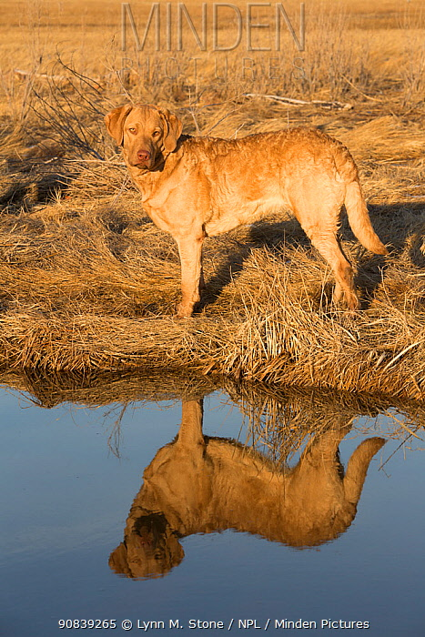Chesapeake Bay retriever standing in salt marsh, Madison, Connecticut, USA. February.