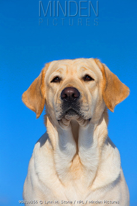 Yellow Labrador retriever, head portrait, Connecticut, USA. February.