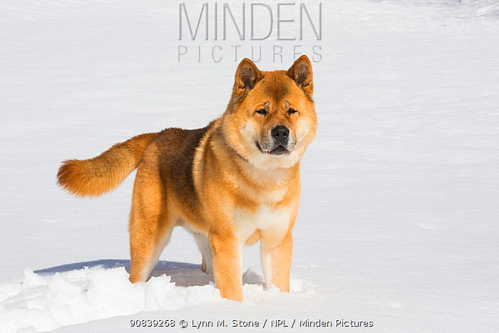 Akita standing in snow, Connecticut, USA. March.