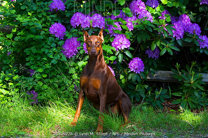 Doberman pinscher with cropped ears sitting in Rhododendron flowers, Connecticut, USA. May.