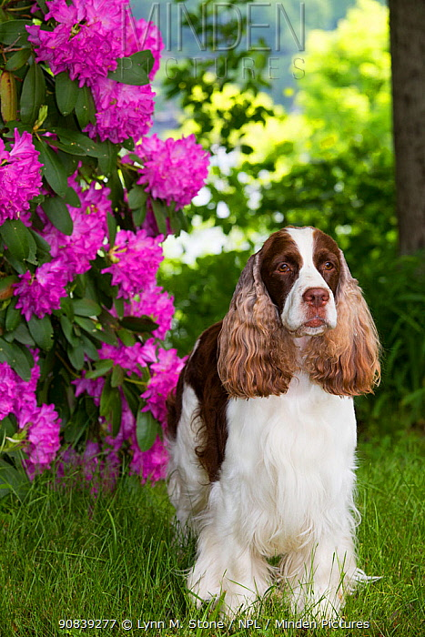 English springer spaniel standing in Rhododendron flowers, Connecticut, USA. June.