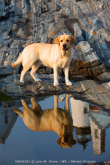 Yellow labrador retriever standing with reflection of Pemaquid Lighthouse in rockpool, Maine, USA.