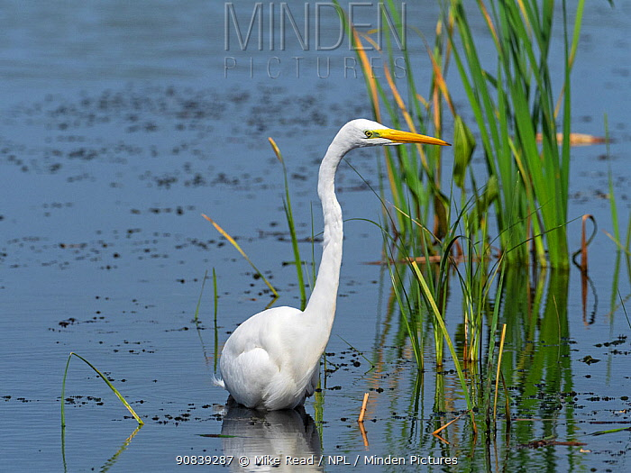 Great egret (Egretta alba) standing in a pool in front of North Hide, Westhay Moor Nature Reserve, Somerset Wildlife Trust Reserve, England, UK, August