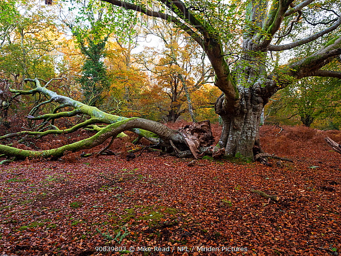 Ancient pollarded beech tree with fallen branch, Vinney Ridge, New Forest National Park, Hampshire, England, UK, November 2019