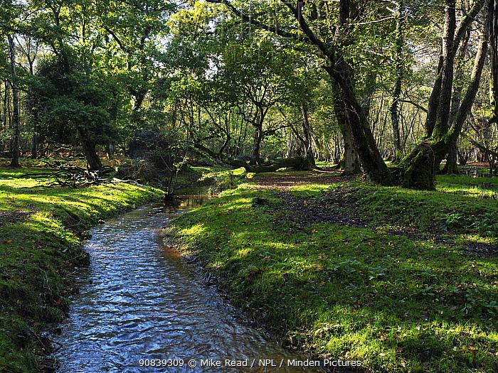 Restored stream through woodland near Holmhill Passage, New Forest National Park, Hampshire, England, UK, October.