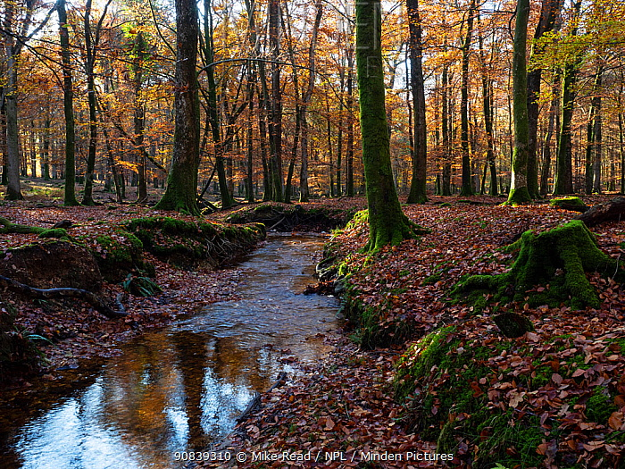 Latchmore brook running through deciduous woodland, Islands Thorns Inclosure, near Fritham, New Forest National Park, Hampshire, England, UK, November.