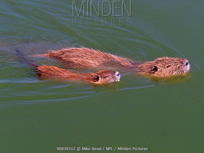 Coypu (Myocastor coypus) adult and young in a pool, Parc Ornithologique, Regional Nature Park of the Camargue, France, September. Introduced species.