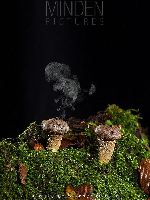 Stump puffball (Lycoperdon pyriforme) releasing spores, Ringwood, Hampshire, England, UK, November.