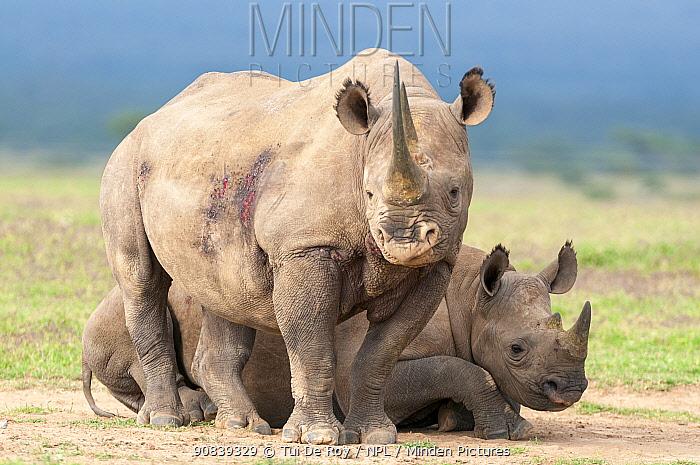 Black rhino (Diceros bicornis) mother with resting calf, Solio Game Reserve, Laikipia, Kenya. September.