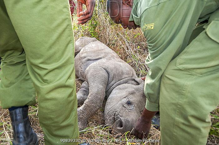 Black rhino (Diceros bicornis) calf orphaned by poaching, being rescued by Kenya Wildlife Service and Solio Ranch staff to be raised at David Sheldrick Wildlife Trust Orphanage, Nairobi. Solio Game Reserve, Laikipia, Kenya. September.