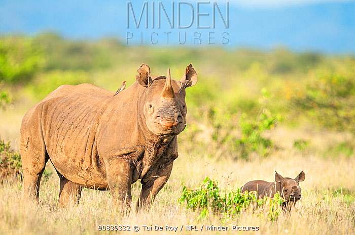 Black rhino (Diceros bicornis) mother with very young calf aged approximately 2 weeks, Mugie Wildlife Conservancy, Laikipia, Kenya. March.