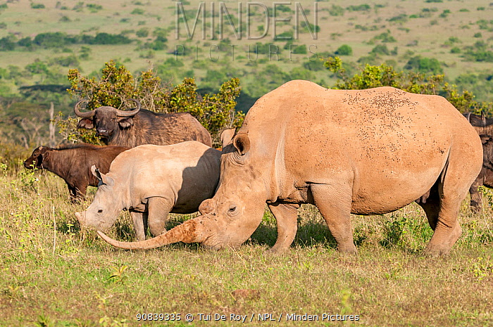 White rhinoceros (Ceratotherium simum) with unusually shaped horn grazing with her calf and African buffalo (Syncerus caffer) with her calf, Solio Game Reserve, Laikipia, Kenya. September.