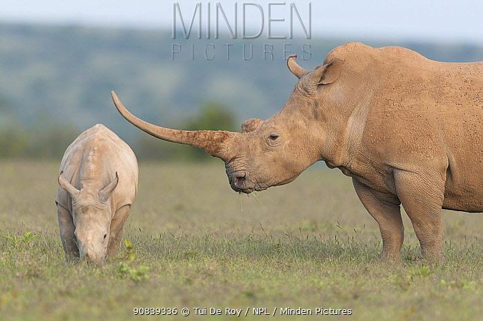 White rhinoceros (Ceratotherium simum) with unusually shaped horn, Solio Game Reserve, Laikipia, Kenya. September.