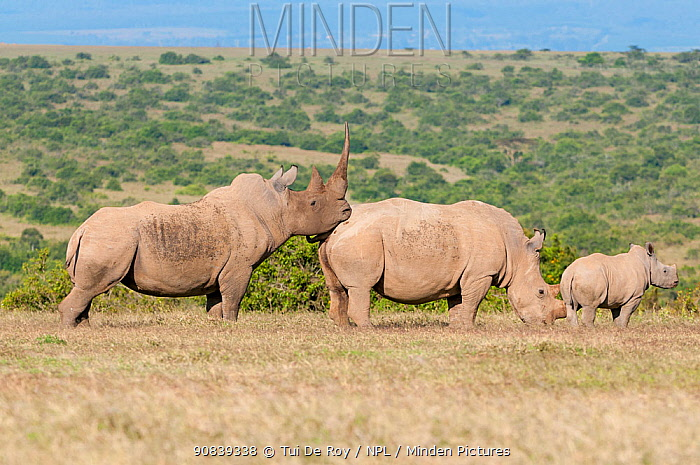 White rhinoceros (Ceratotherium simum) male approaching female with her calf nearby, Solio Game Reserve, Laikipia, Kenya. September.