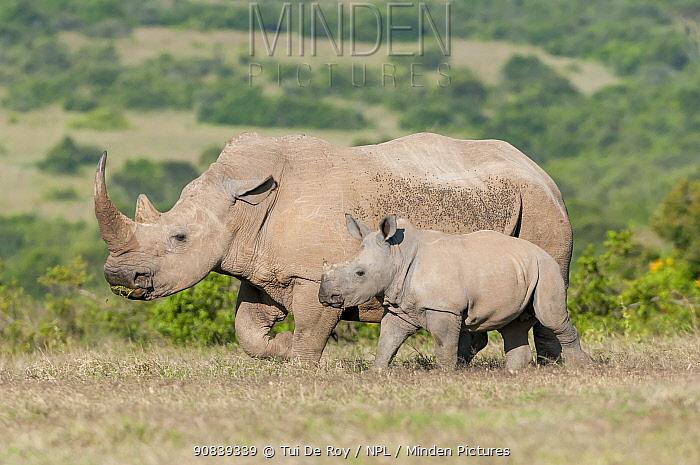 White rhinoceros (Ceratotherium simum) mother and calf, Solio Game Reserve, Laikipia, Kenya. September.