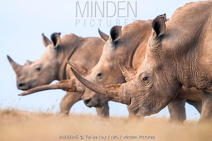 Three White rhinoceroses (Ceratotherium simum) walking together, Solio Game Reserve, Laikipia, Kenya. September.