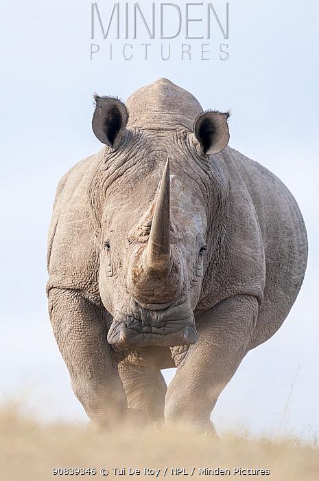 White rhinoceros (Ceratotherium simum) portrait. Solio Game Reserve, Laikipia, Kenya. September.