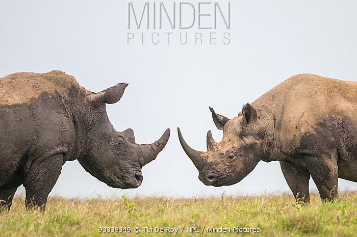 Black rhino (Diceros bicornis) and White Rhino (Ceratotherium simum) bulls facing off. Solio Game Reserve, Laikipia, Kenya. September.