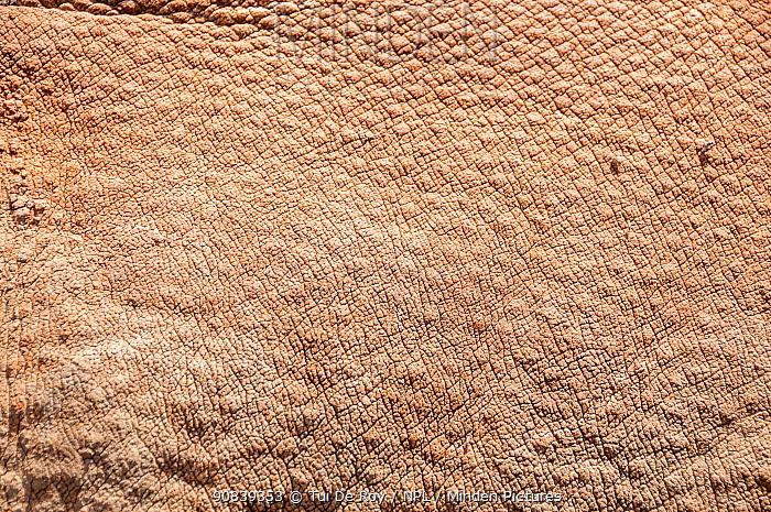 Close up of young Black rhino (Diceros bicornis) skin, Kenya. October.