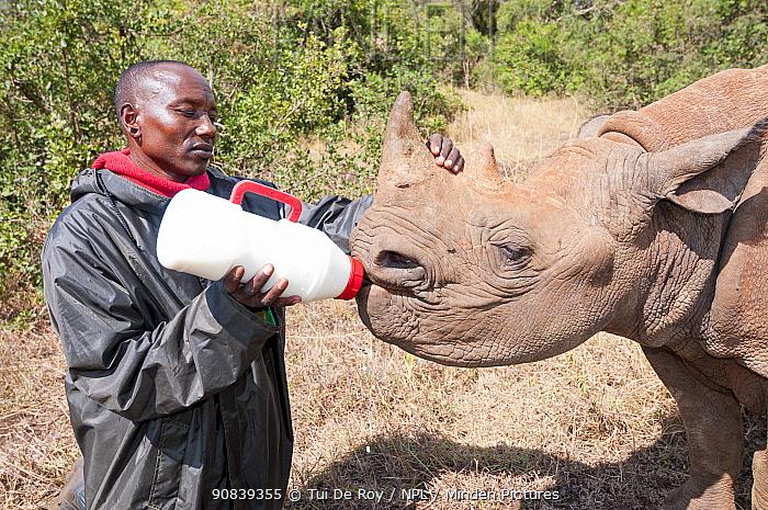 Black rhino (Diceros bicornis) orphan aged 18 months being bottle-fed by a keeper, David Sheldrick Wildlife Trust Orphanage, Nairobi, Kenya. October.