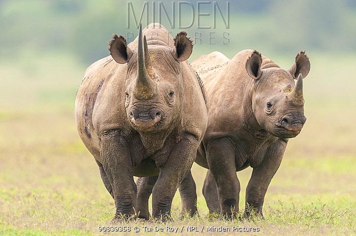 Black rhino (Diceros bicornis) mother and calf, Solio Game Reserve, Laikipia, Kenya. September.