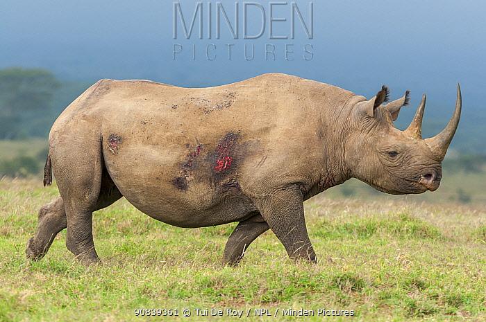Black rhino (Diceros bicornis) female with wounds, Solio Game Reserve, Laikipia, Kenya. September.
