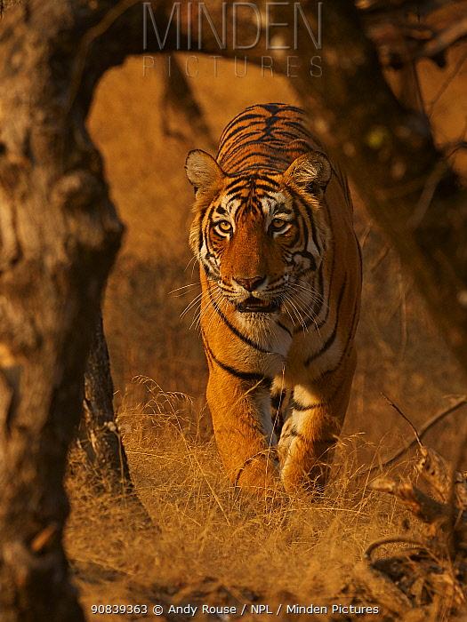 Bengal tiger (Panthera tigris) tigress 'Arrowhead 'stalking, Ranthambhore, India