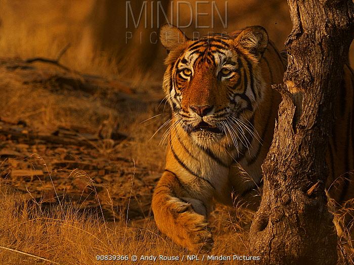 Bengal tiger (Panthera tigris) tigress 'Arrowhead' stalking, Ranthambhore, India