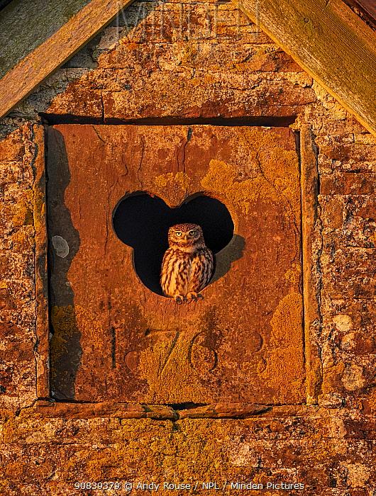 Little owl (Athene noctua) in old barn, UK