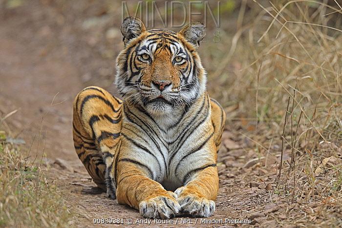 Bengal tiger (Panthera tigris) tigress 'Noor' resting Ranthambhore, India