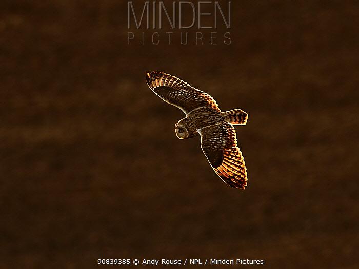 Short eared owl (Asio flammeus) in flight, UK.