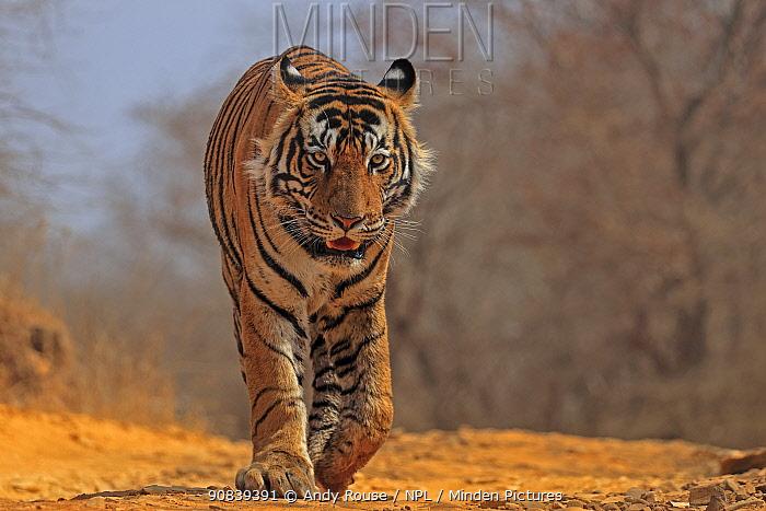 RF - Bengal tiger (Panthera tigris) tigress 'Arrowhead' walking. Ranthambhore, India (This image may be licensed either as rights managed or royalty free.)