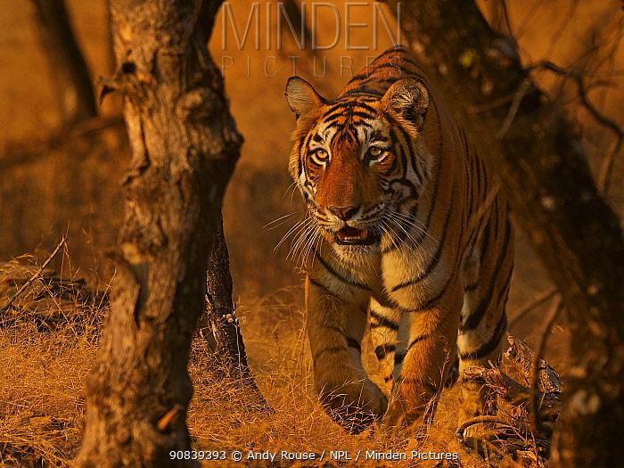 RF - Bengal Tiger (Panthera tigris) Tigress 'Arrowhead' stalking, Ranthambhore, India  (This image may be licensed either as rights managed or royalty free.)
