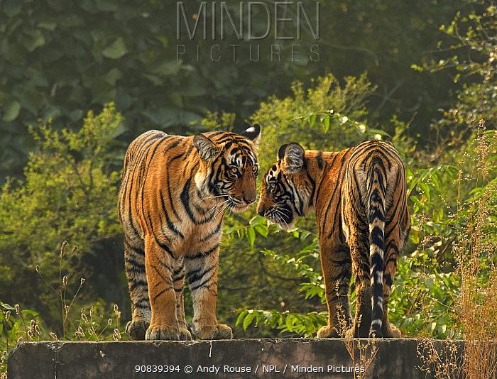 Bengal tiger (Panthera tigris) cubs age 10 months, Ranthambhore, India