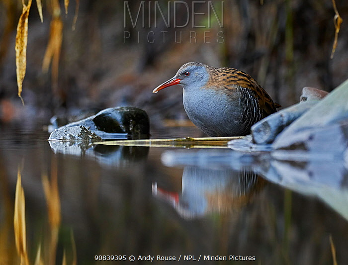 RF - Water rail (Rallus aquaticus) in pool, UK (This image may be licensed either as rights managed or royalty free.)