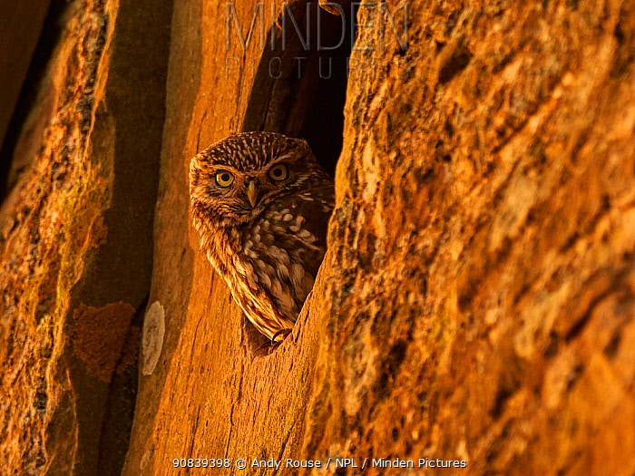 Little Owl (Athene noctua) looking out of window of old barn, UK .