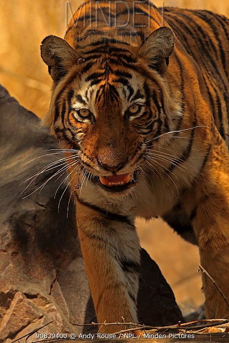 Bengal tiger (Panthera tigris) protective tigress 'T8' on kill, Ranthambhore, India