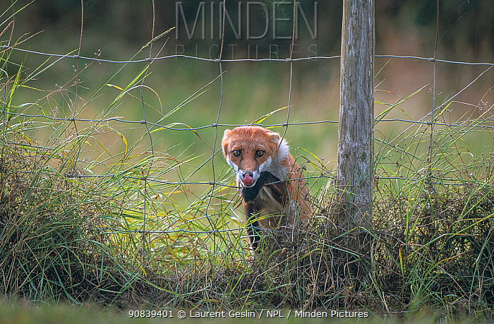 Red fox (Vulpes vulpes) climbing through wire fence.