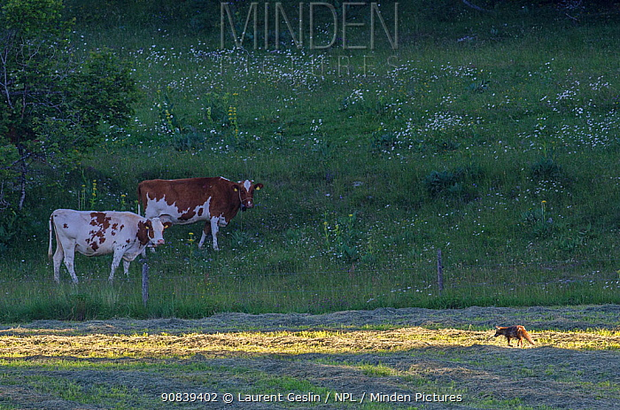 Red fox (Vulpes vulpes) walking through mown hayfield, watched by cattle.