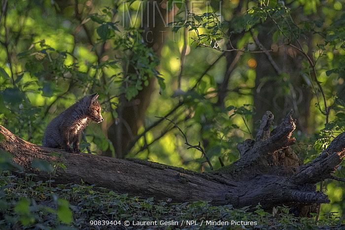 Red fox (Vulpes vulpes) cub exploring on fallen tree in woodland, Switzerland.