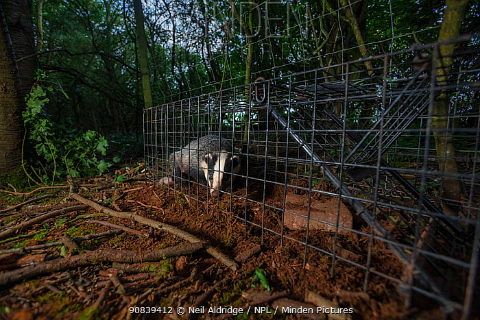 A European badger (Meles meles) in a cage trap before being vaccinated against TB. North Somerset, UK. Badger vaccination programmes are being carried out in England as a means of controlling the spread of TB between badgers and cattle, and as a viable alternative to the controversial government-sanctioned cull of badgers.