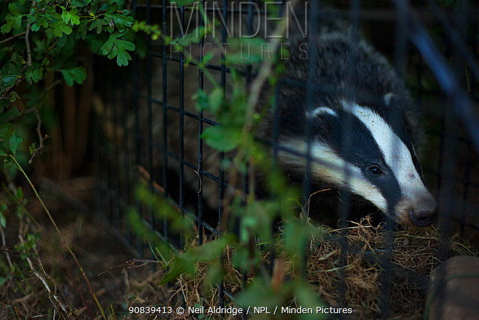A European badger (Meles meles) in a cage trap before being vaccinated against TB. Gloucestershire, UK. Badger vaccination programmes are being carried out in England as a means of controlling the spread of TB between badgers and cattle, and as a viable alternative to the controversial government-sanctioned cull of badgers.