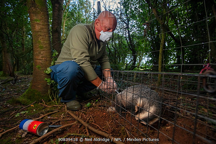 A vaccinator inoculates a sleeping European badger (Meles meles) against TB. North Somerset, UK. Badger vaccination programmes are being carried out in England as a means of controlling the spread of TB between badgers and cattle, and as a viable alternative to the controversial government-sanctioned cull of badgers.